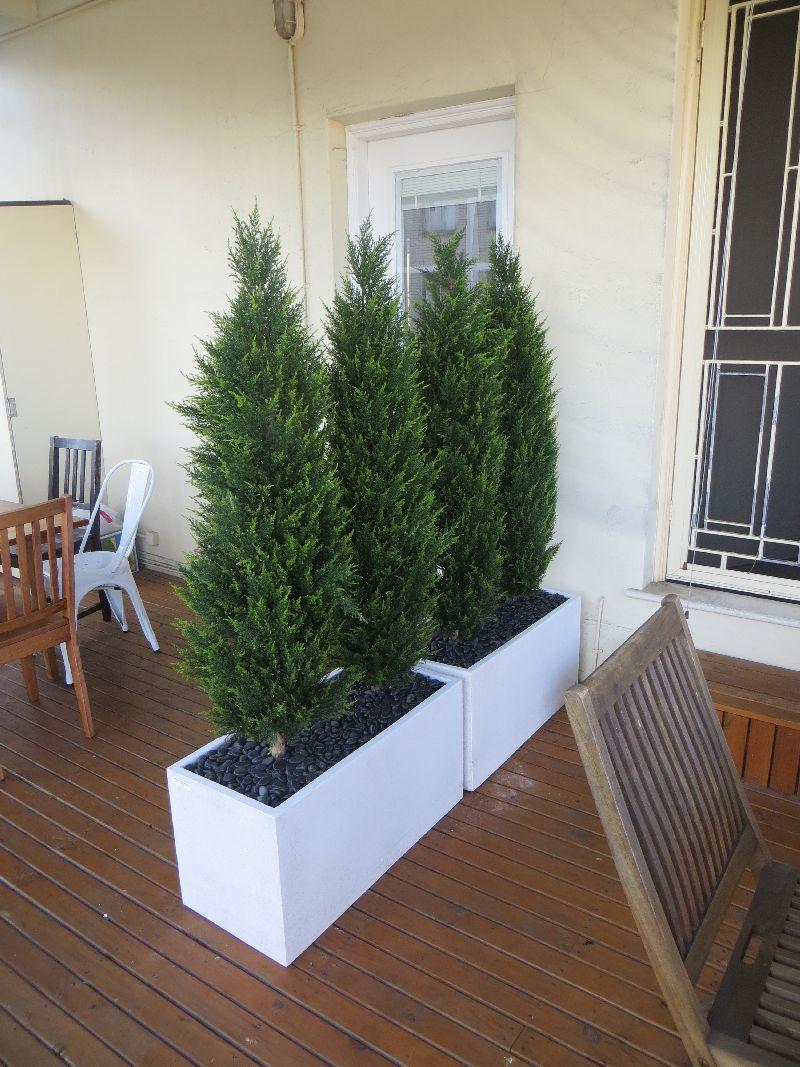 Cedars Conifers